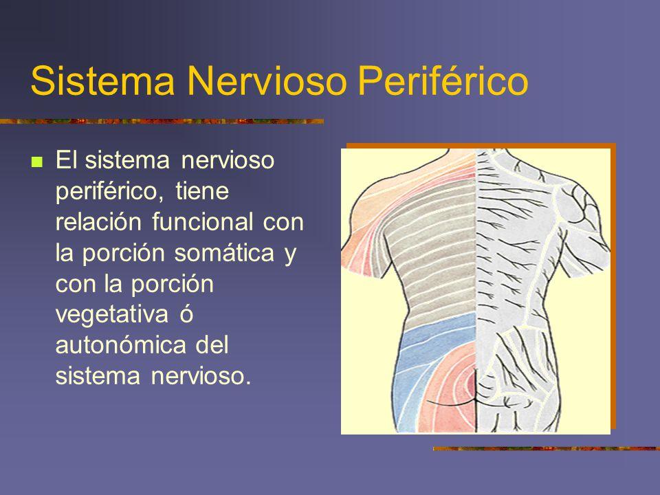 Sistema Nervioso Periférico El sistema nervioso periférico, tiene relación funcional con la porción somática y con la porción vegetativa ó autonómica