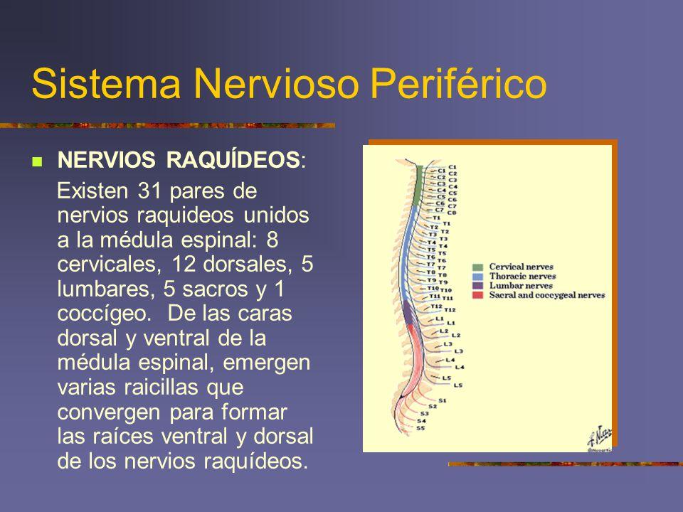 Sistema Nervioso Periférico NERVIOS RAQUÍDEOS: Existen 31 pares de nervios raquideos unidos a la médula espinal: 8 cervicales, 12 dorsales, 5 lumbares