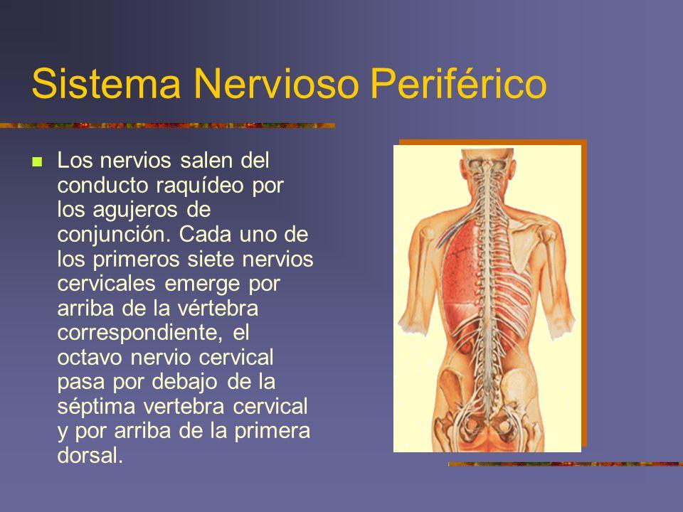 Sistema Nervioso Periférico Los nervios salen del conducto raquídeo por los agujeros de conjunción. Cada uno de los primeros siete nervios cervicales