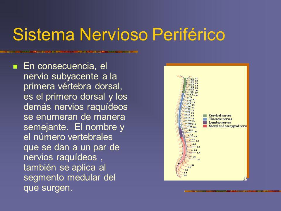 Sistema Nervioso Periférico En consecuencia, el nervio subyacente a la primera vértebra dorsal, es el primero dorsal y los demás nervios raquídeos se