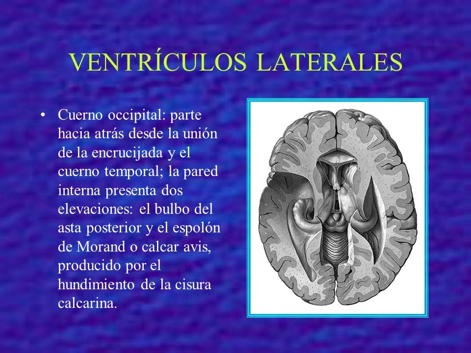 VENTRÍCULOS LATERALES Cuerno occipital: parte hacia atrás desde la unión de la encrucijada y el cuerno temporal; la pared interna presenta dos elevaci