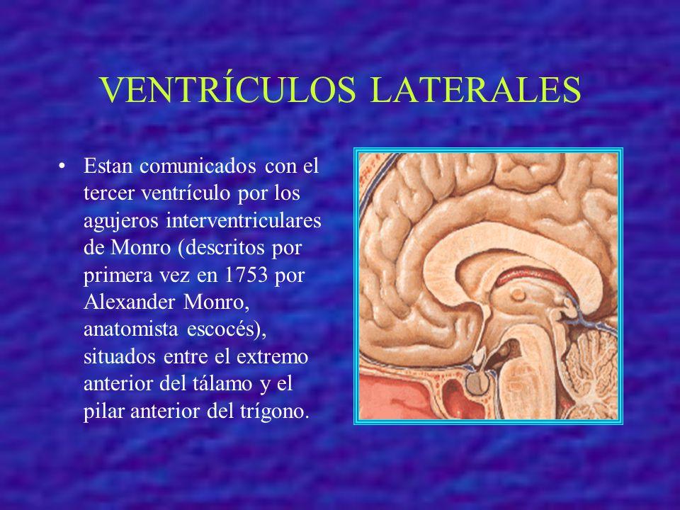 VENTRÍCULOS LATERALES Estan comunicados con el tercer ventrículo por los agujeros interventriculares de Monro (descritos por primera vez en 1753 por A