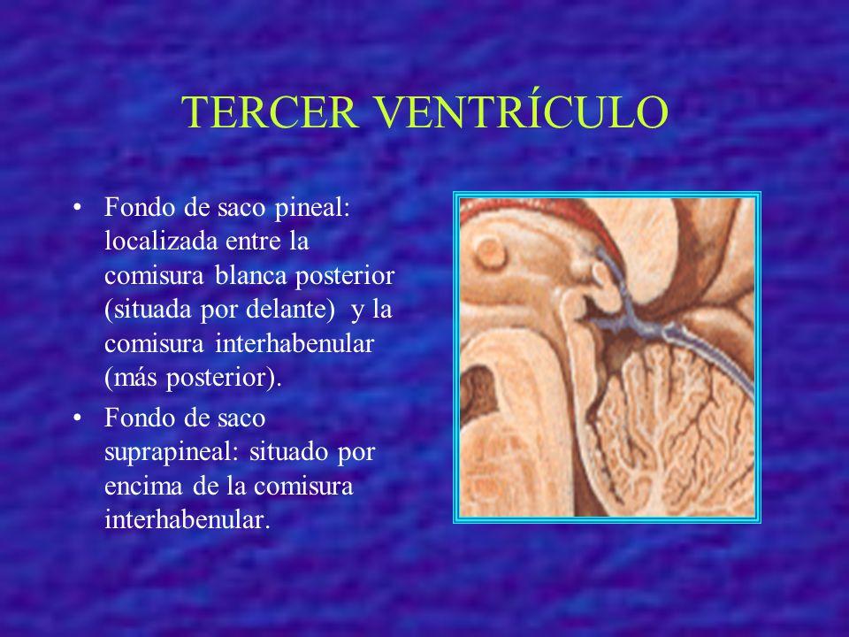 TERCER VENTRÍCULO Fondo de saco pineal: localizada entre la comisura blanca posterior (situada por delante) y la comisura interhabenular (más posterio