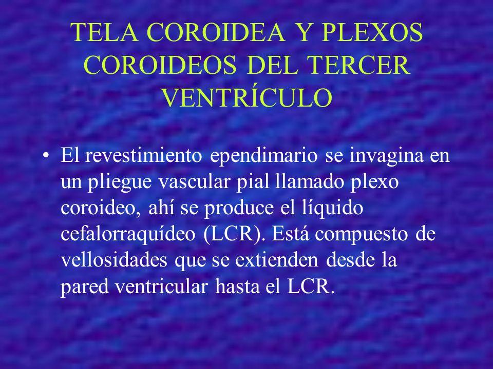TELA COROIDEA Y PLEXOS COROIDEOS DEL TERCER VENTRÍCULO El revestimiento ependimario se invagina en un pliegue vascular pial llamado plexo coroideo, ah