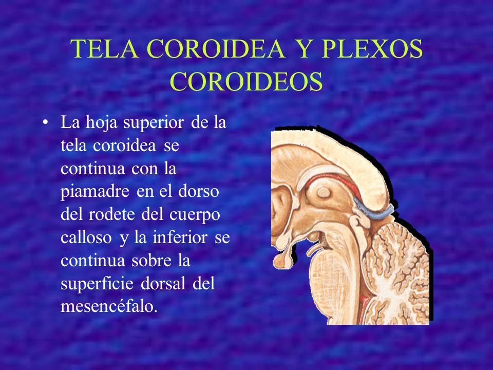 TELA COROIDEA Y PLEXOS COROIDEOS La hoja superior de la tela coroidea se continua con la piamadre en el dorso del rodete del cuerpo calloso y la infer