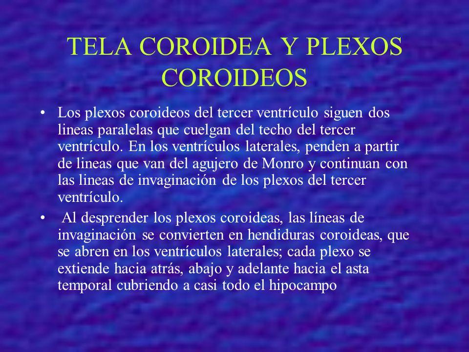 TELA COROIDEA Y PLEXOS COROIDEOS Los plexos coroideos del tercer ventrículo siguen dos lineas paralelas que cuelgan del techo del tercer ventrículo. E