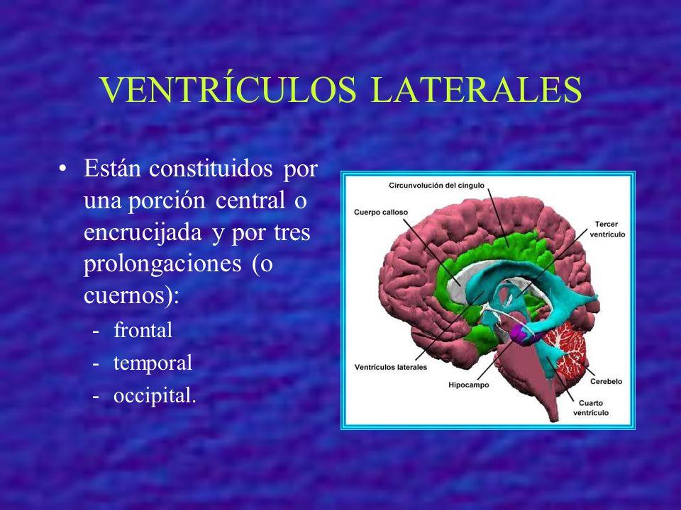 VENTRÍCULOS LATERALES Están constituidos por una porción central o encrucijada y por tres prolongaciones (o cuernos): -frontal -temporal -occipital.