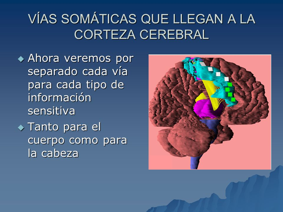 VÍAS SOMÁTICAS QUE LLEGAN A LA CORTEZA CEREBRAL Ahora veremos por separado cada vía para cada tipo de información sensitiva Ahora veremos por separado cada vía para cada tipo de información sensitiva Tanto para el cuerpo como para la cabeza Tanto para el cuerpo como para la cabeza