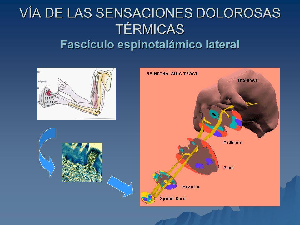 VÍA DE LAS SENSACIONES DOLOROSAS TÉRMICAS Fascículo espinotalámico lateral