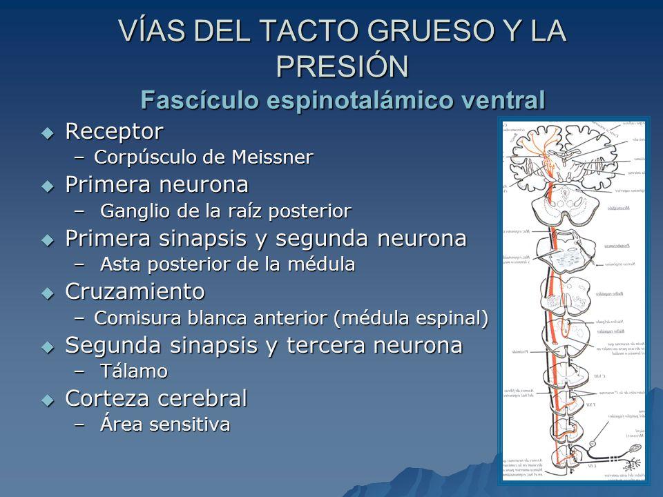 VÍAS DEL TACTO GRUESO Y LA PRESIÓN Fascículo espinotalámico ventral Receptor Receptor –Corpúsculo de Meissner Primera neurona Primera neurona – Ganglio de la raíz posterior Primera sinapsis y segunda neurona Primera sinapsis y segunda neurona – Asta posterior de la médula Cruzamiento Cruzamiento –Comisura blanca anterior (médula espinal) Segunda sinapsis y tercera neurona Segunda sinapsis y tercera neurona – Tálamo Corteza cerebral Corteza cerebral – Área sensitiva