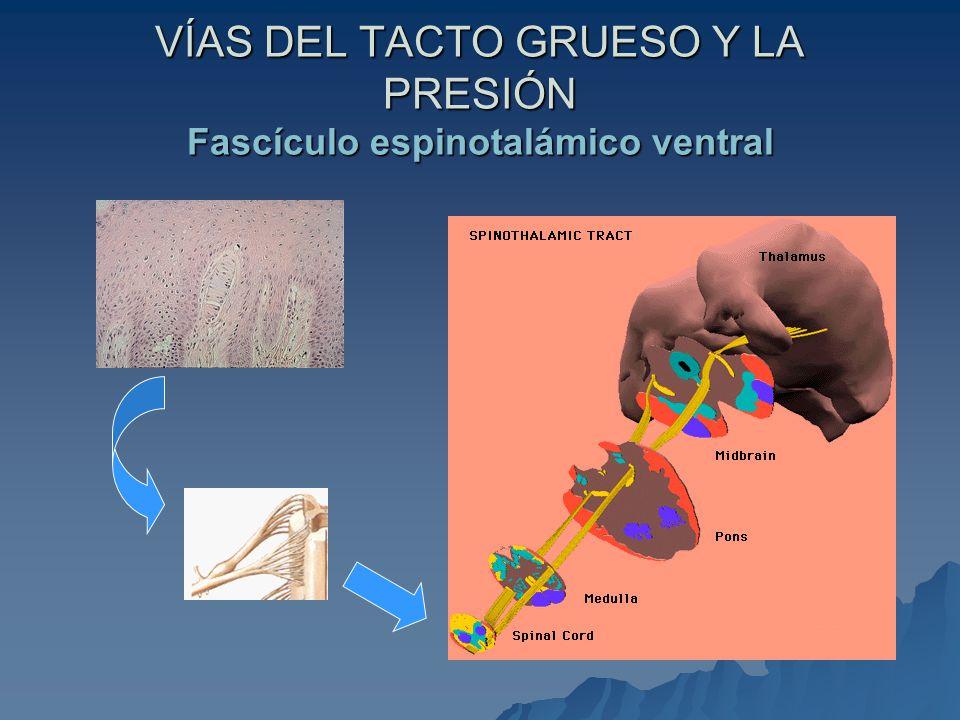 VÍAS DEL TACTO GRUESO Y LA PRESIÓN Fascículo espinotalámico ventral