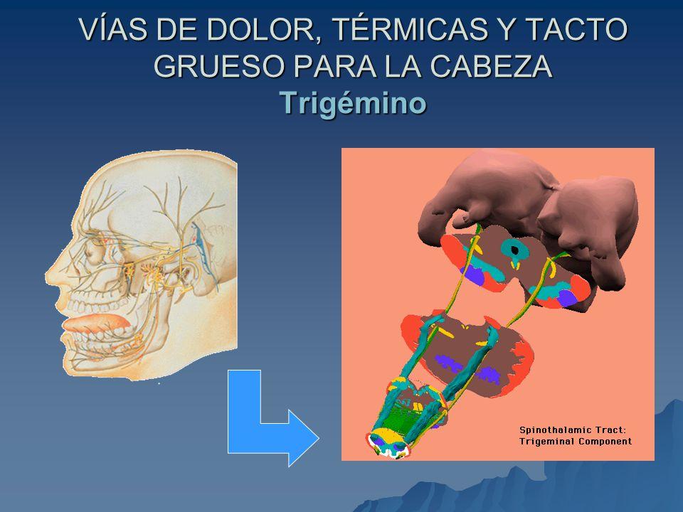 VÍAS DE DOLOR, TÉRMICAS Y TACTO GRUESO PARA LA CABEZA Trigémino