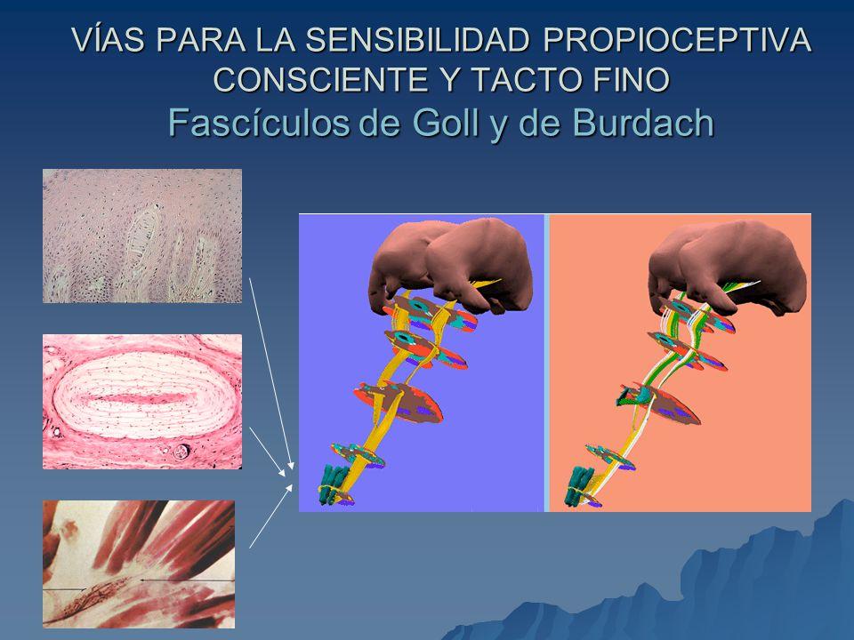 VÍAS PARA LA SENSIBILIDAD PROPIOCEPTIVA CONSCIENTE Y TACTO FINO Fascículos de Goll y de Burdach