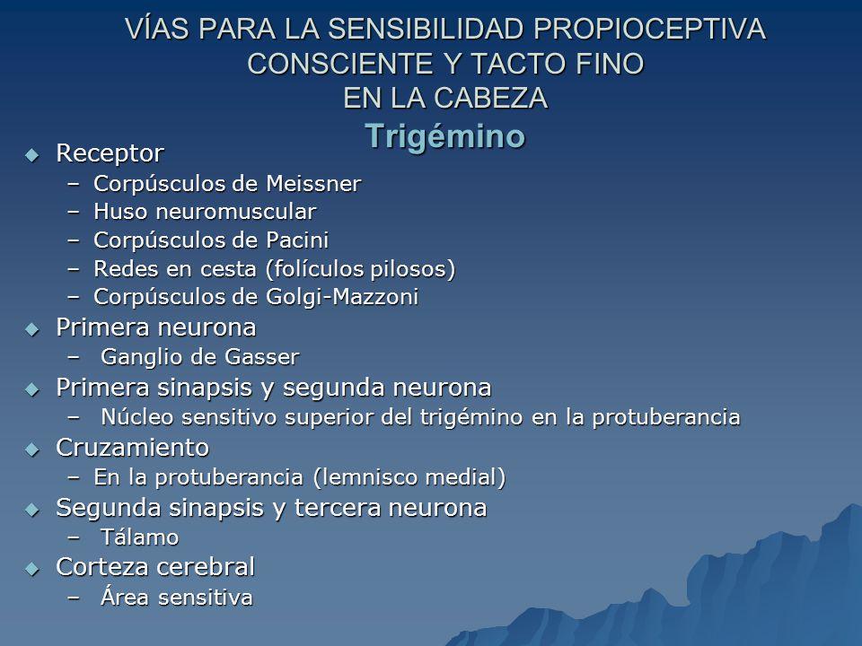 VÍAS PARA LA SENSIBILIDAD PROPIOCEPTIVA CONSCIENTE Y TACTO FINO EN LA CABEZA Trigémino Receptor Receptor –Corpúsculos de Meissner –Huso neuromuscular –Corpúsculos de Pacini –Redes en cesta (folículos pilosos) –Corpúsculos de Golgi-Mazzoni Primera neurona Primera neurona – Ganglio de Gasser Primera sinapsis y segunda neurona Primera sinapsis y segunda neurona – Núcleo sensitivo superior del trigémino en la protuberancia Cruzamiento Cruzamiento –En la protuberancia (lemnisco medial) Segunda sinapsis y tercera neurona Segunda sinapsis y tercera neurona – Tálamo Corteza cerebral Corteza cerebral – Área sensitiva