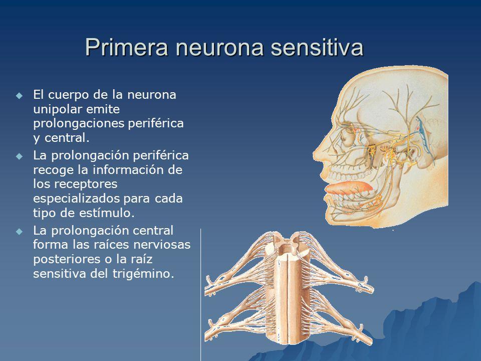 Primera neurona sensitiva El cuerpo de la neurona unipolar emite prolongaciones periférica y central.