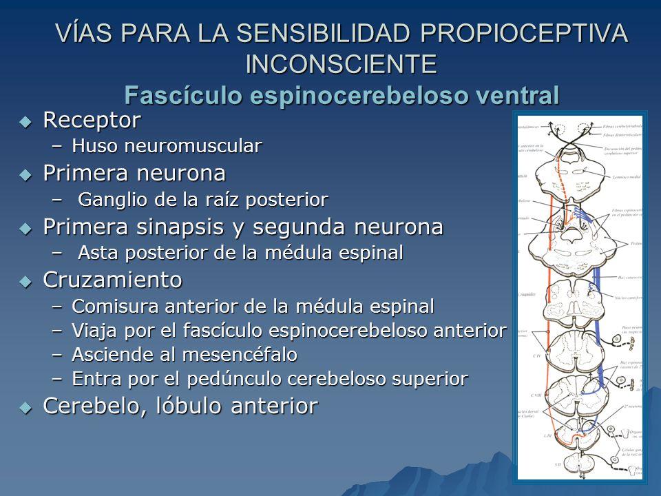 VÍAS PARA LA SENSIBILIDAD PROPIOCEPTIVA INCONSCIENTE Fascículo espinocerebeloso ventral Receptor Receptor –Huso neuromuscular Primera neurona Primera neurona – Ganglio de la raíz posterior Primera sinapsis y segunda neurona Primera sinapsis y segunda neurona – Asta posterior de la médula espinal Cruzamiento Cruzamiento –Comisura anterior de la médula espinal –Viaja por el fascículo espinocerebeloso anterior –Asciende al mesencéfalo –Entra por el pedúnculo cerebeloso superior Cerebelo, lóbulo anterior Cerebelo, lóbulo anterior