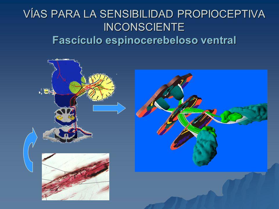 VÍAS PARA LA SENSIBILIDAD PROPIOCEPTIVA INCONSCIENTE Fascículo espinocerebeloso ventral