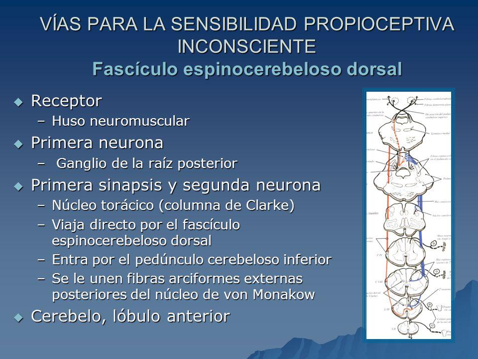 VÍAS PARA LA SENSIBILIDAD PROPIOCEPTIVA INCONSCIENTE Fascículo espinocerebeloso dorsal Receptor Receptor –Huso neuromuscular Primera neurona Primera neurona – Ganglio de la raíz posterior Primera sinapsis y segunda neurona Primera sinapsis y segunda neurona –Núcleo torácico (columna de Clarke) –Viaja directo por el fascículo espinocerebeloso dorsal –Entra por el pedúnculo cerebeloso inferior –Se le unen fibras arciformes externas posteriores del núcleo de von Monakow Cerebelo, lóbulo anterior Cerebelo, lóbulo anterior
