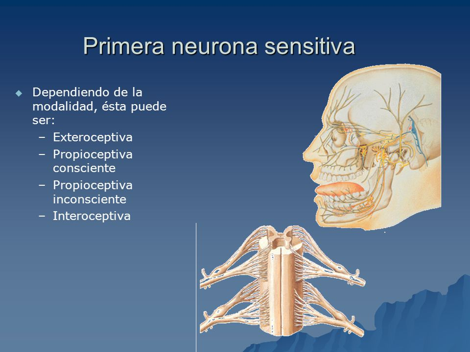 Primera neurona sensitiva Dependiendo de la modalidad, ésta puede ser: – –Exteroceptiva – –Propioceptiva consciente – –Propioceptiva inconsciente – –Interoceptiva