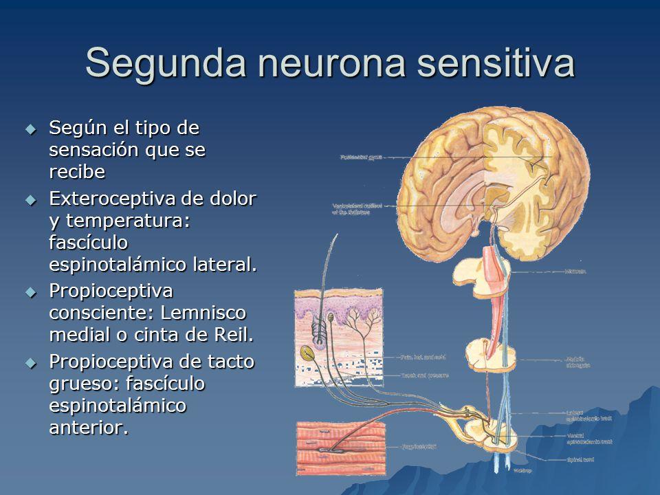 Segunda neurona sensitiva Según el tipo de sensación que se recibe Según el tipo de sensación que se recibe Exteroceptiva de dolor y temperatura: fascículo espinotalámico lateral.