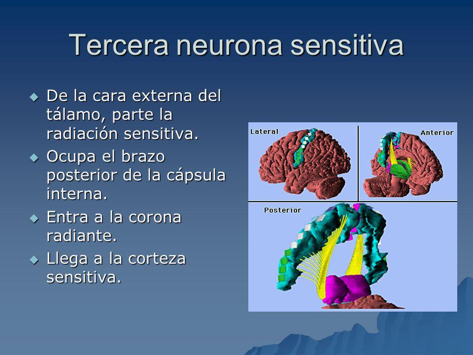 Tercera neurona sensitiva De la cara externa del tálamo, parte la radiación sensitiva.