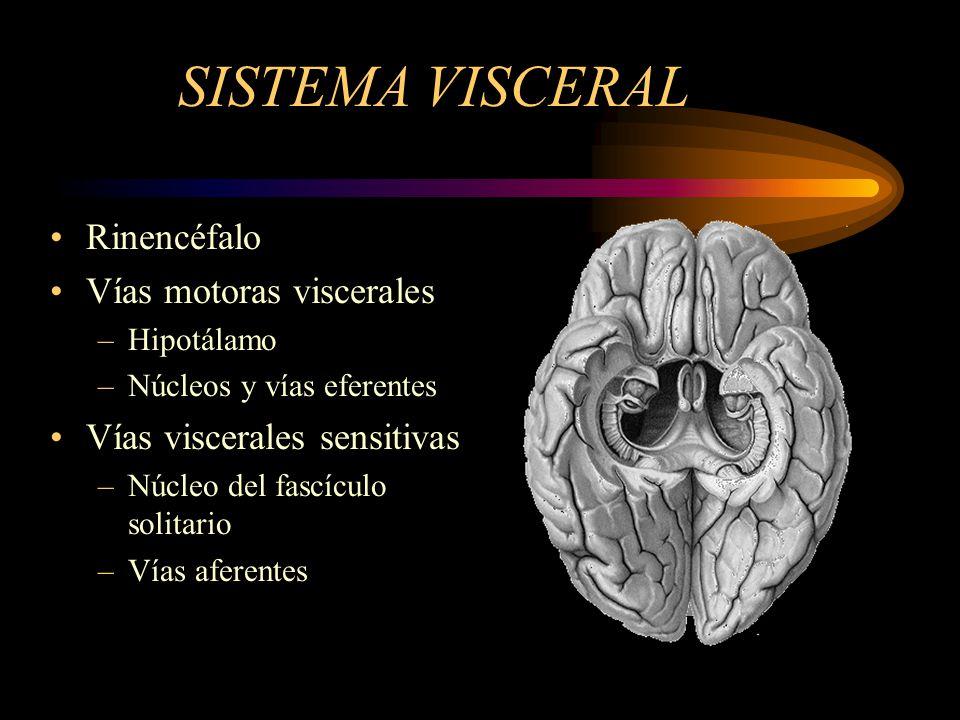 SISTEMA VISCERAL Rinencéfalo Vías motoras viscerales –Hipotálamo –Núcleos y vías eferentes Vías viscerales sensitivas –Núcleo del fascículo solitario