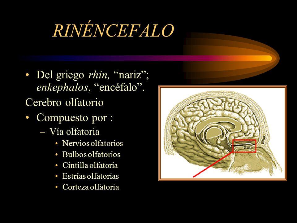 RINÉNCEFALO Del griego rhin, nariz; enkephalos, encéfalo. Cerebro olfatorio Compuesto por : –Vía olfatoria Nervios olfatorios Bulbos olfatorios Cintil