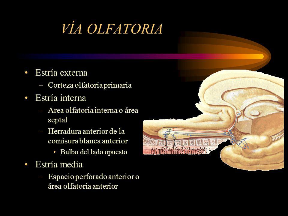 VÍA OLFATORIA Estría externa –Corteza olfatoria primaria Estría interna –Area olfatoria interna o área septal –Herradura anterior de la comisura blanc