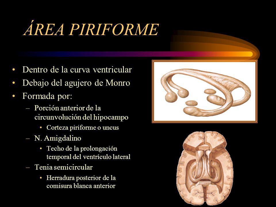 ÁREA PIRIFORME Dentro de la curva ventricular Debajo del agujero de Monro Formada por: –Porción anterior de la circunvolución del hipocampo Corteza pi