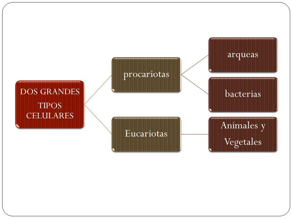 DOS GRANDES TIPOS CELULARES procariotasarqueasbacteriasEucariotas Animales y Vegetales