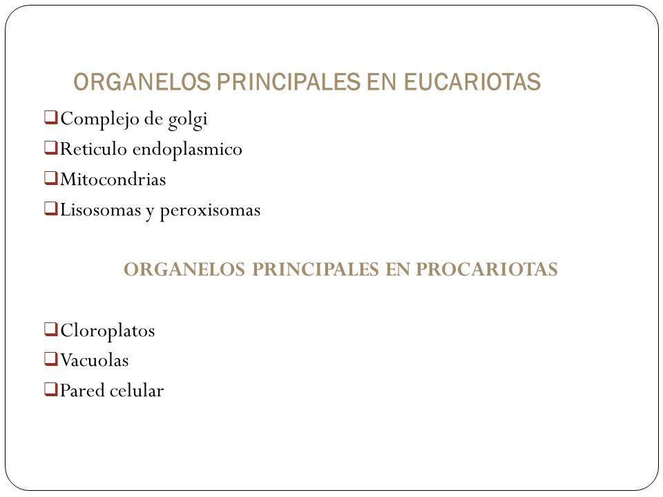 ORGANELOS PRINCIPALES EN EUCARIOTAS Complejo de golgi Reticulo endoplasmico Mitocondrias Lisosomas y peroxisomas ORGANELOS PRINCIPALES EN PROCARIOTAS