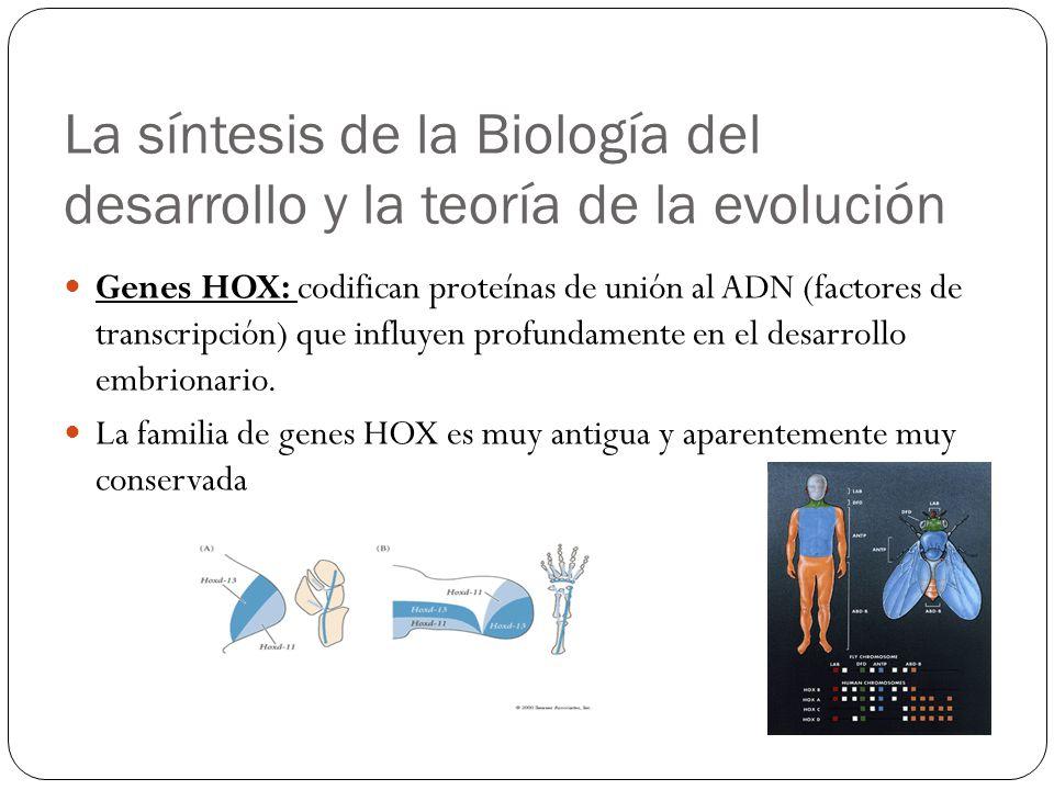 Genes HOX: codifican proteínas de unión al ADN (factores de transcripción) que influyen profundamente en el desarrollo embrionario. La familia de gene