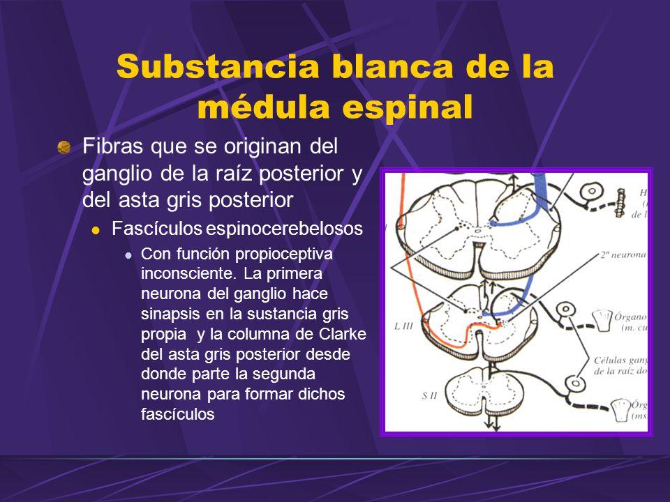 Fibras que se originan del ganglio de la raíz posterior y del asta gris posterior Fascículos espinocerebelosos Con función propioceptiva inconsciente.