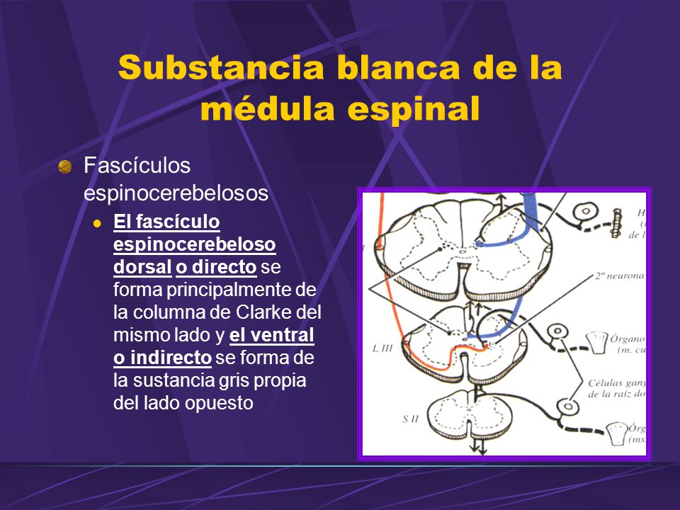 Fascículos espinocerebelosos El fascículo espinocerebeloso dorsal o directo se forma principalmente de la columna de Clarke del mismo lado y el ventra