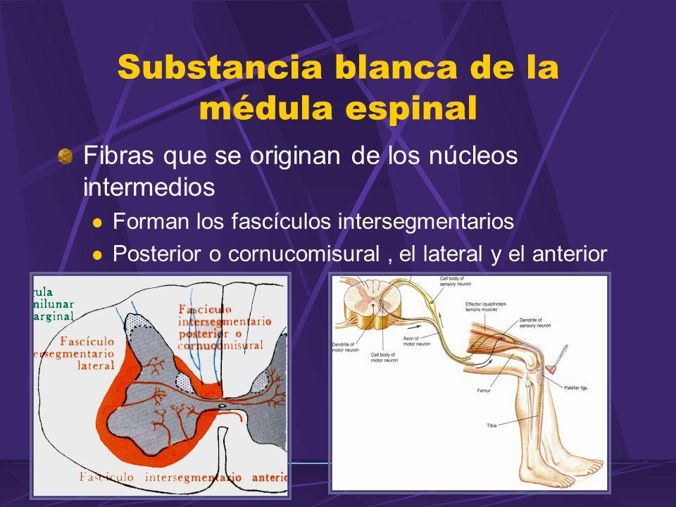 Substancia blanca de la médula espinal Fibras que se originan de los núcleos intermedios Forman los fascículos intersegmentarios Posterior o cornucomisural, el lateral y el anterior