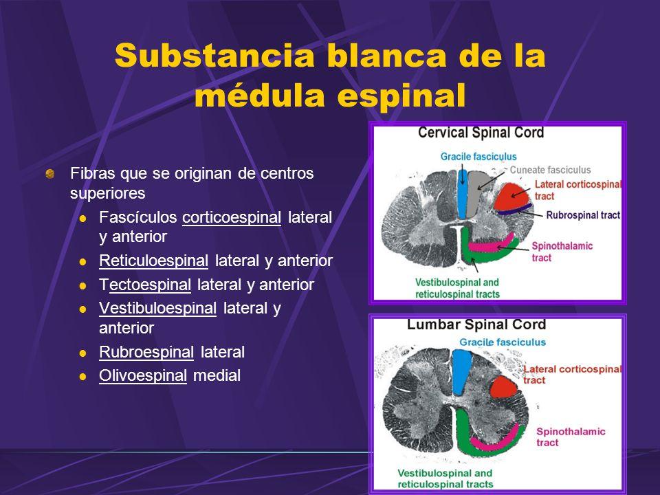 Substancia blanca de la médula espinal Fibras que se originan de centros superiores Fascículos corticoespinal lateral y anterior Reticuloespinal lateral y anterior Tectoespinal lateral y anterior Vestibuloespinal lateral y anterior Rubroespinal lateral Olivoespinal medial