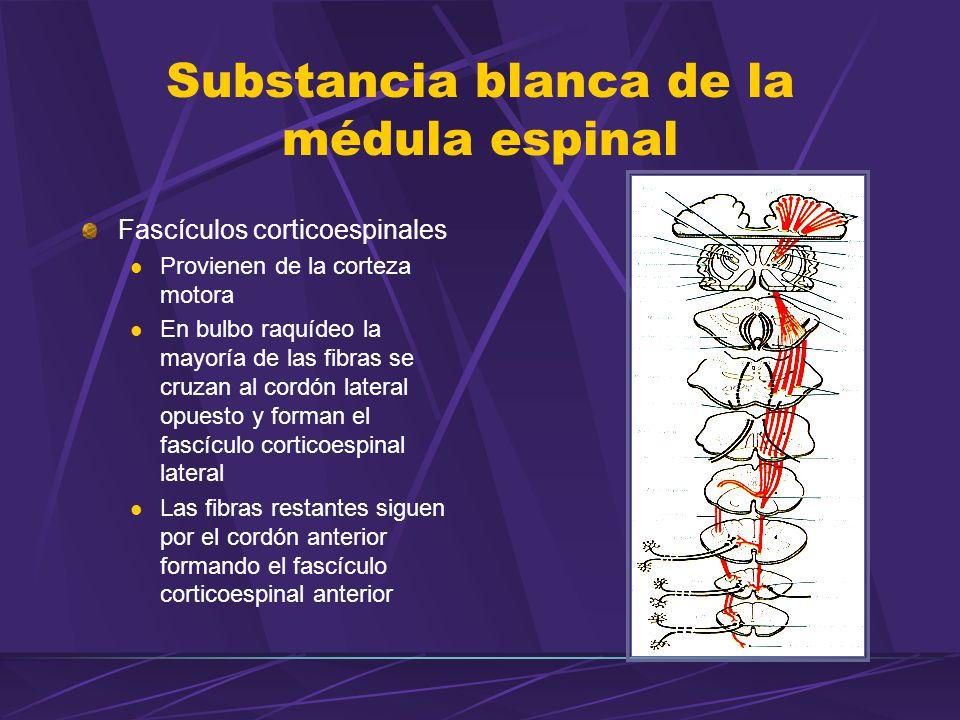 Fascículos corticoespinales Provienen de la corteza motora En bulbo raquídeo la mayoría de las fibras se cruzan al cordón lateral opuesto y forman el fascículo corticoespinal lateral Las fibras restantes siguen por el cordón anterior formando el fascículo corticoespinal anterior Substancia blanca de la médula espinal