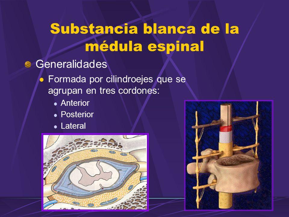 Substancia blanca de la médula espinal Generalidades Formada por cilindroejes que se agrupan en tres cordones: Anterior Posterior Lateral