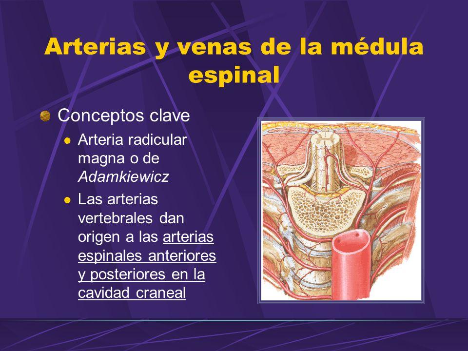 Conceptos clave Arteria radicular magna o de Adamkiewicz Las arterias vertebrales dan origen a las arterias espinales anteriores y posteriores en la cavidad craneal Arterias y venas de la médula espinal