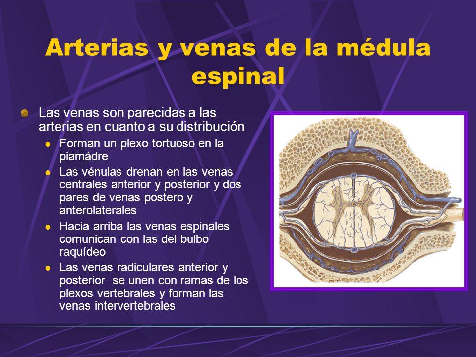 Las venas son parecidas a las arterias en cuanto a su distribución Forman un plexo tortuoso en la piamádre Las vénulas drenan en las venas centrales anterior y posterior y dos pares de venas postero y anterolaterales Hacia arriba las venas espinales comunican con las del bulbo raquídeo Las venas radiculares anterior y posterior se unen con ramas de los plexos vertebrales y forman las venas intervertebrales Arterias y venas de la médula espinal