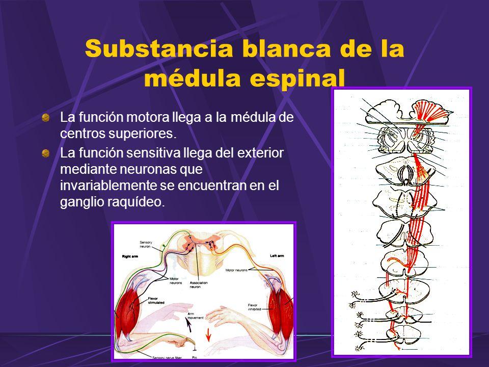 La función motora llega a la médula de centros superiores. La función sensitiva llega del exterior mediante neuronas que invariablemente se encuentran