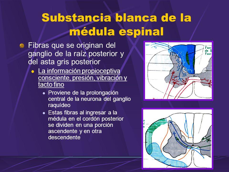 Fibras que se originan del ganglio de la raíz posterior y del asta gris posterior La información propioceptiva consciente, presión, vibración y tacto