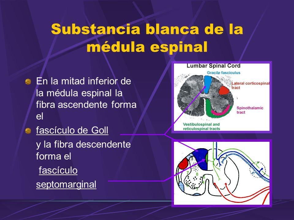En la mitad inferior de la médula espinal la fibra ascendente forma el fascículo de Goll y la fibra descendente forma el fascículo septomarginal Substancia blanca de la médula espinal