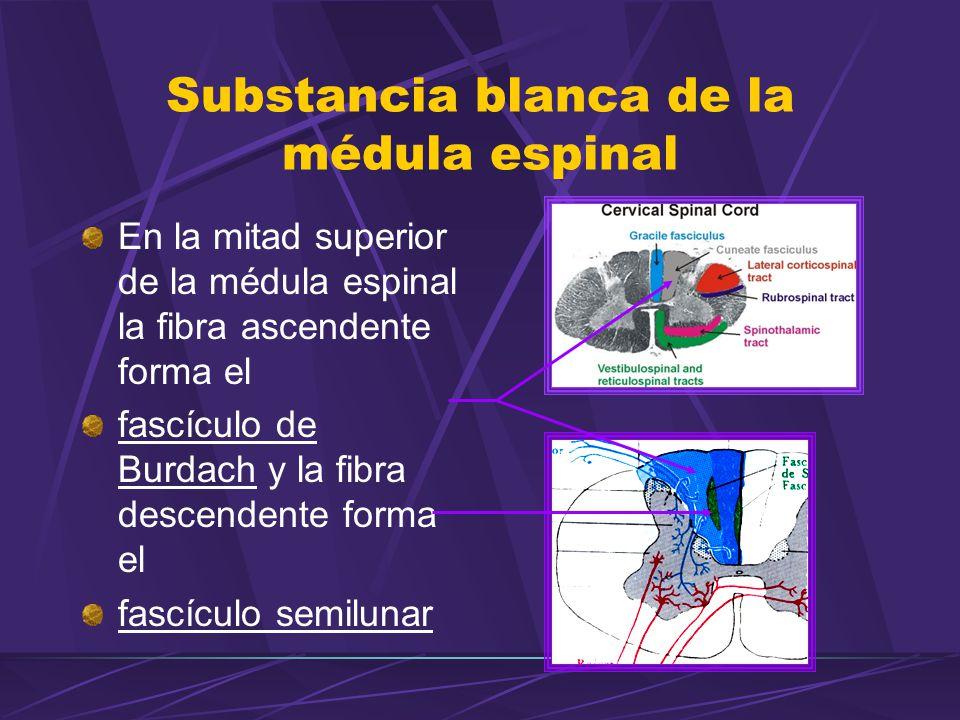 En la mitad superior de la médula espinal la fibra ascendente forma el fascículo de Burdach y la fibra descendente forma el fascículo semilunar Substancia blanca de la médula espinal