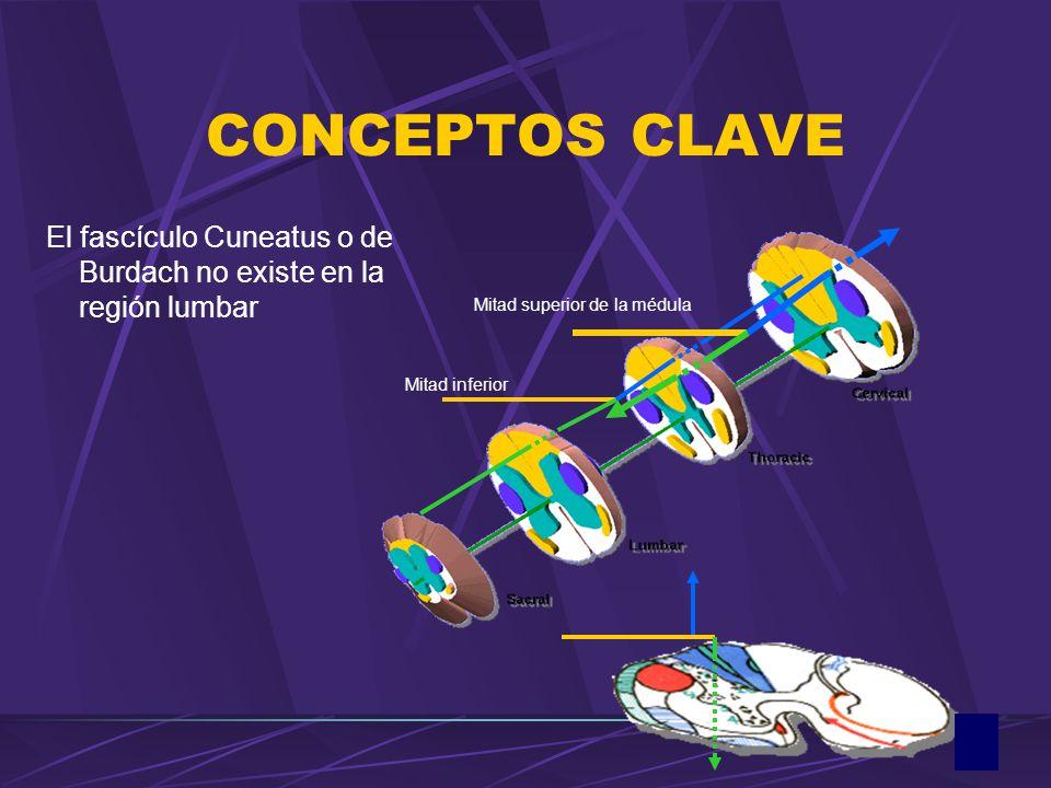 CONCEPTOS CLAVE El fascículo Cuneatus o de Burdach no existe en la región lumbar Mitad superior de la médula Mitad inferior
