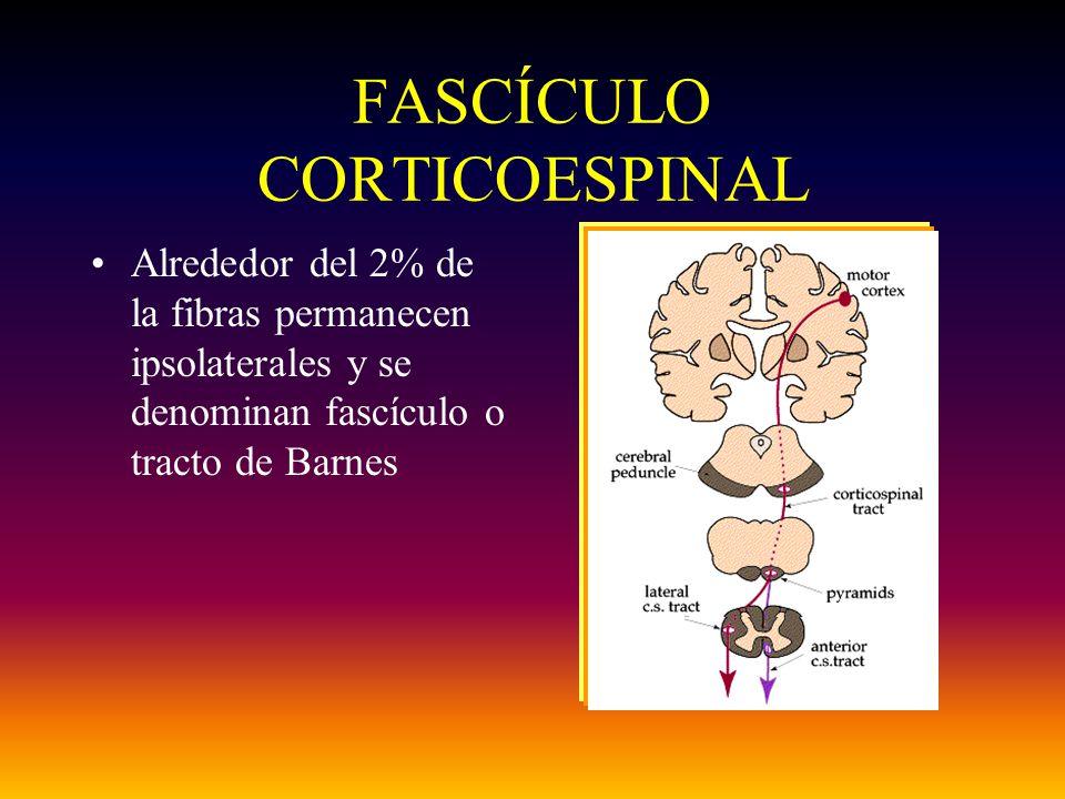 FASCÍCULO CORTICOESPINAL Alrededor del 2% de la fibras permanecen ipsolaterales y se denominan fascículo o tracto de Barnes