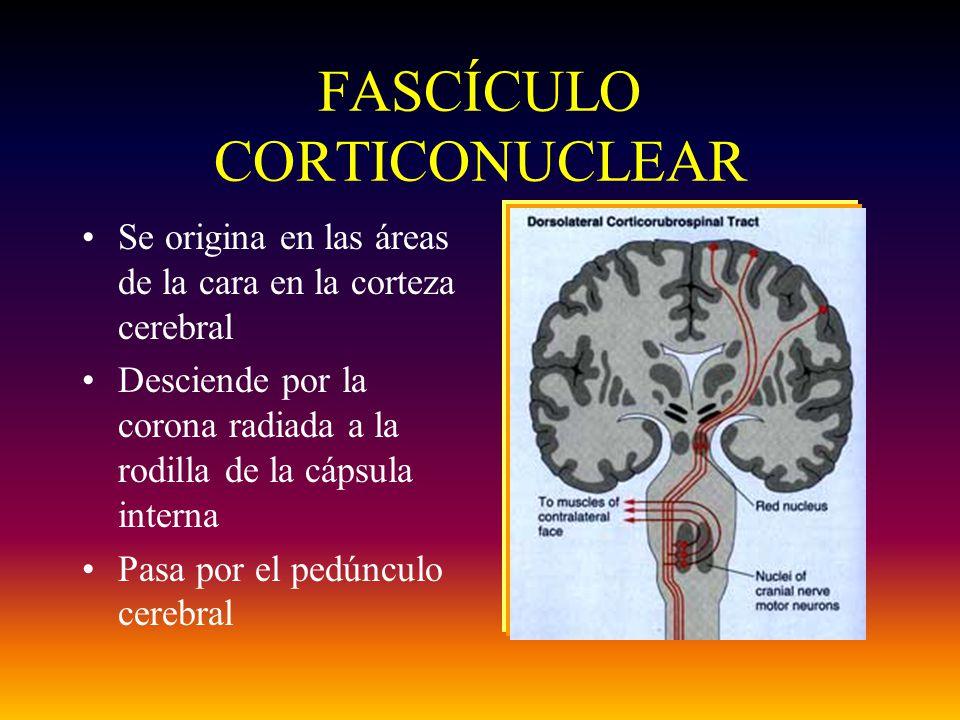 FASCÍCULO CORTICONUCLEAR Se origina en las áreas de la cara en la corteza cerebral Desciende por la corona radiada a la rodilla de la cápsula interna