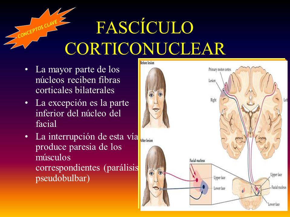 FASCÍCULO CORTICONUCLEAR La mayor parte de los núcleos reciben fibras corticales bilaterales La excepción es la parte inferior del núcleo del facial L