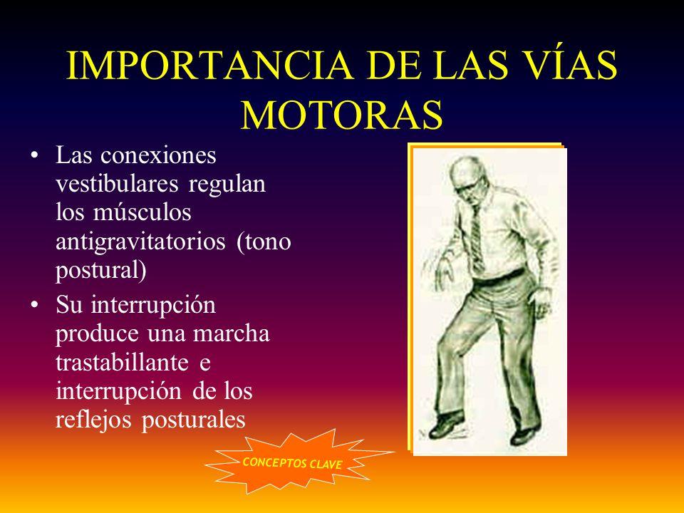IMPORTANCIA DE LAS VÍAS MOTORAS Las conexiones vestibulares regulan los músculos antigravitatorios (tono postural) Su interrupción produce una marcha