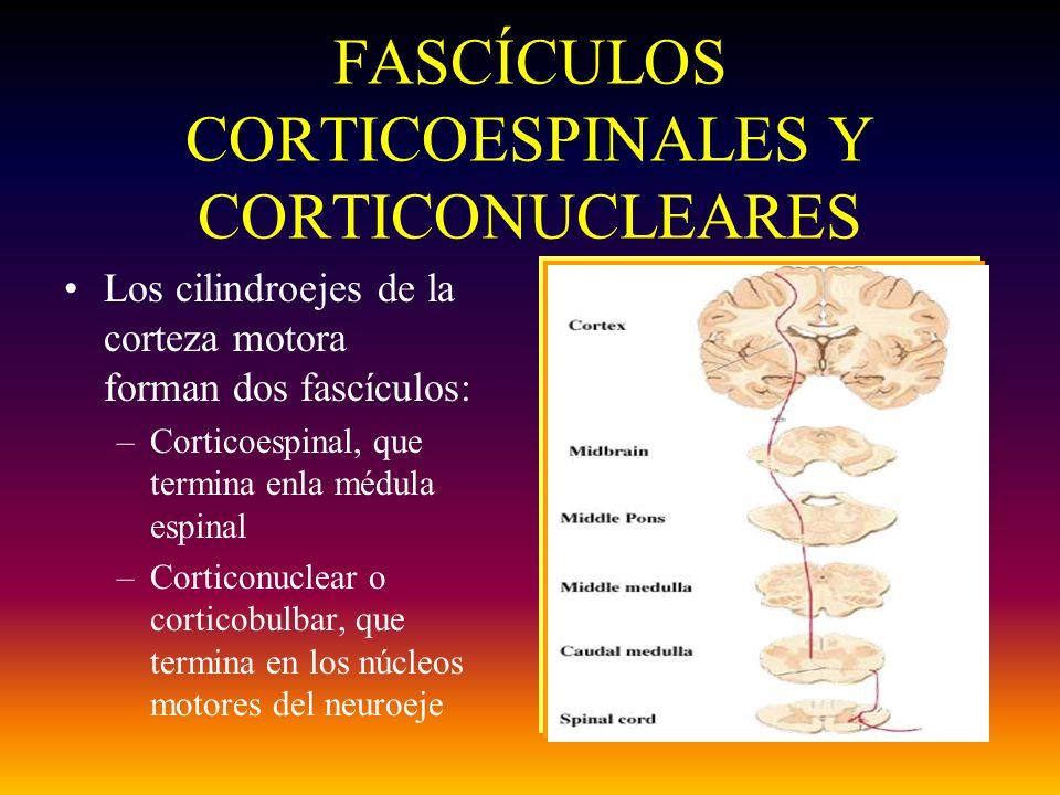 FASCÍCULOS CORTICOESPINALES Y CORTICONUCLEARES Los cilindroejes de la corteza motora forman dos fascículos: –Corticoespinal, que termina enla médula e